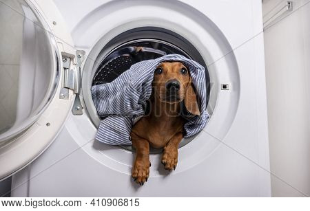 The Dachshund Looks Up Attentively, Leaning Out Of The Open Washing Machine Where It Lies Among The