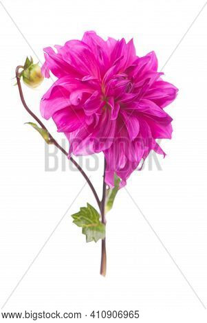 Red, White, Yellow Dahlia August Colorful Background. View Of Multicolor Dahlia Flowers. Beautiful D