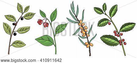 Vector Drawing Tree Branches Wahoo, Yerba Mate, Buckthorn , Hand Drawn Illustration