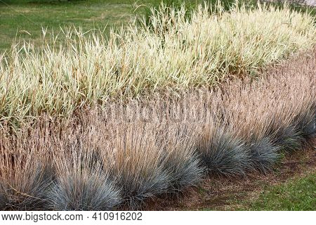 Fragment Of Decorative Composition From Cereals In A Botanical Garden. In The Foreground The Festuca