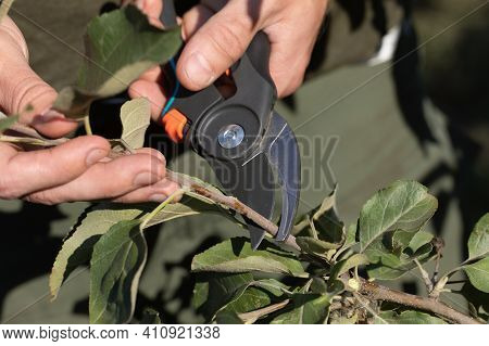 Man Pruning Tree Branch With Pruning Shears On Nature Background.