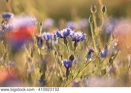 Cornflower flower Nature spring flower sunset Nature flower background Nature flower Nature flower background Nature flower background flower Nature meadow Nature flower Nature flower background wildflower Nature flower background flower Nature background