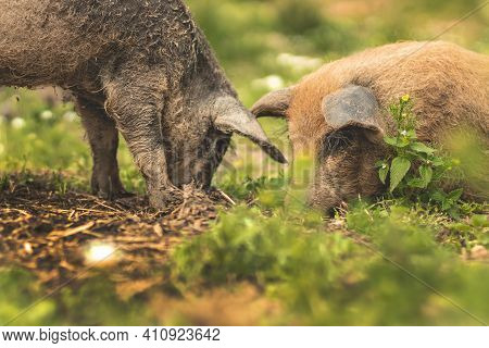 Piglets Of The Hungarian Mangalitsa Walk In A Meadow Among Daisies. Piglets In A Field Among Green G