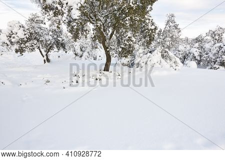 Snowy Forest Landscape. Winter Time. Idyllic Nature Background. No People