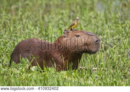 Capybara With A Bird On The Head In The Pantanal, Brazil, South America