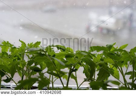 Tomato Seedlings On The Window. Outside The Window There Is Bad Weather And A Snowstorm.