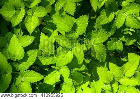 Forest background,forest leaves of bishop\'s weed, in Latin Aegopodium podagraria under soft sunlight in the forest, nature forest landscape,forest nature, forest plants, forest landscape, forest greenery
