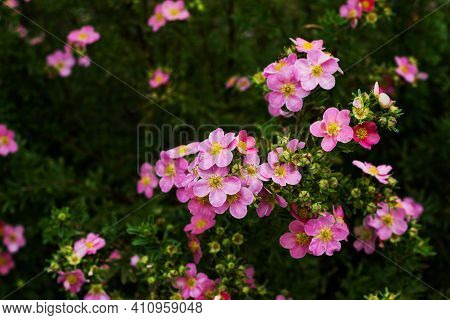 Nature Flower Background. Shrubby Cinquefoil Pink Flowers. The Wild Rose Bush. Close Up.