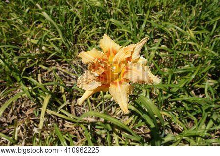 Pastel Orange  Double Flower Of Hemerocallis Fulva In July