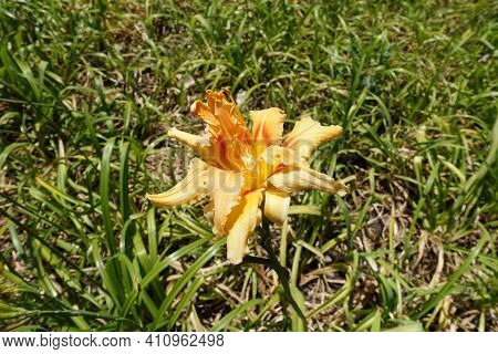 Polymerous Apricot Colored Flower Of Hemerocallis Fulva In July
