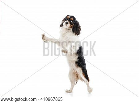 Funny King Charles Spaniel Dog Posing Isolated Over White Background.