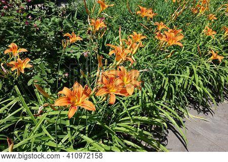 Many Orange Flowers Of Hemerocallis Fulva In Mid June