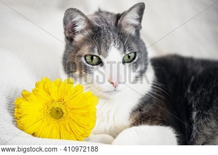 Gray Cat With Yellow Gerbera On Light Background. Domestic Cat Portrait. Morning At Home. Spring All