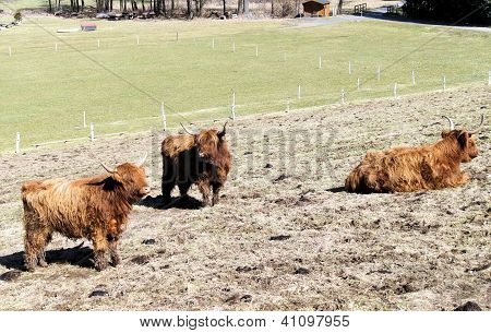 Scottish highland cattle on a pasture