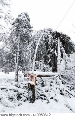 Falling Conifer Trees After Sleet Load And Snow At Snow-covered Winter Park In A City. Weather Forec
