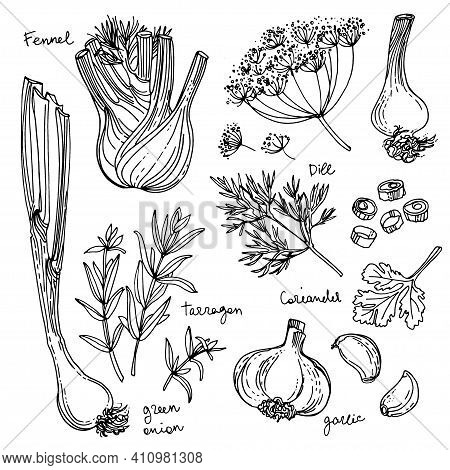 Herbs. . Herb Drawn Black Lines On A White Background. Vector Illustration. Fennel, Dill, Coriander,
