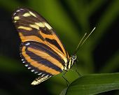 Large Tiger Butterfly lives in central America poster