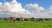 Elephant's family in african savannah. Panoramic view with scenic clouds and green grass in national park Chobe(Botswana) poster