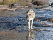 Close up image of a timber wolf walking through water, toward the camera. poster