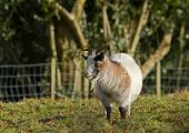 White and brown Long-haired goat in field poster