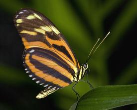 Groß Tiger Schmetterling
