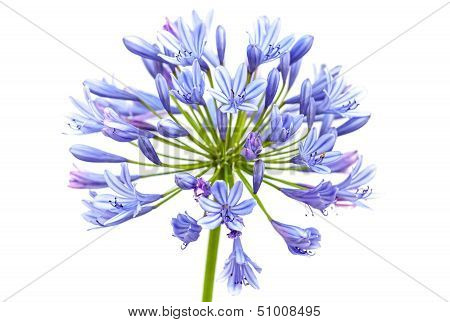 Bright Blue Agapanthus Flower. Macro Photo Isolated On White