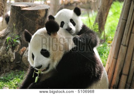 Giant Panda And Baby Playing In Chengdu Breeding Centre, China