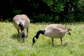 A pair of Canadian Geese grazing in a field. poster
