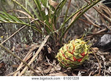 Australian Cycad Macrozamia Miquelii With Fruit In Its Natural Environment