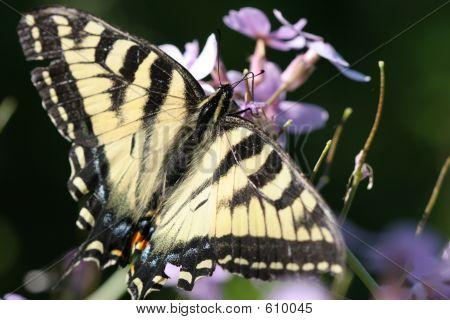 Monarch Butterfly On Purple