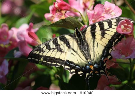 Monarch Butterfly On Pink