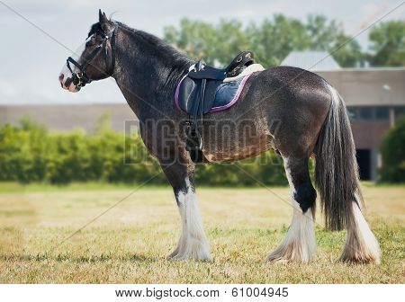 shire horse under saddle on medow. See my other works in portfolio. poster