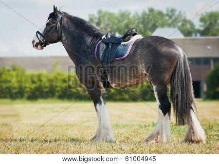 shire horse under saddle