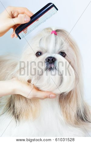 Shih tzu dog grooming with comb.