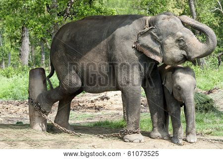 Asian Elephants Of Nepal