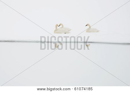 Tundra Swans Rest in Snow