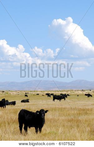 Cattle Grazing
