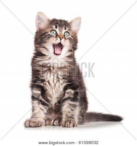 Yawning kitten
