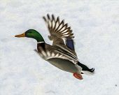 stylized and filtered to look like an oil painting photo of a duck just startled to flight in the background of white snow. Wings are blurred suggesting movement. poster