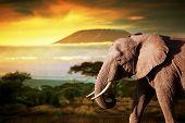 Elephant on savanna landscape background and Mount Kilimanjaro at sunset poster