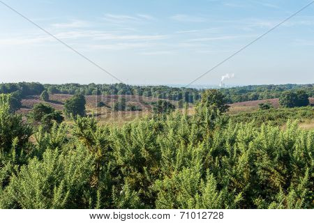 Looking Out Over Gorse Bushes Onto Dutch Heathland