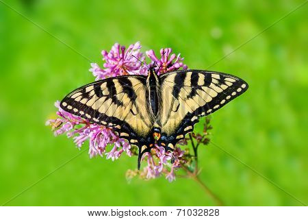 Eastern Tiger Swallowtail - Full Wingspan Top