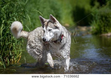 Husky Playing In The Water