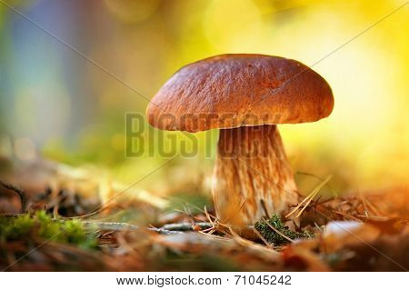 Cep Mushroom Growing in Autumn Forest. Boletus. Mushroom picking