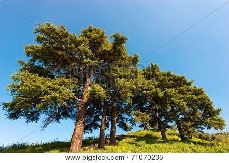 Cedars Of Lebanon - Cedrus Libani