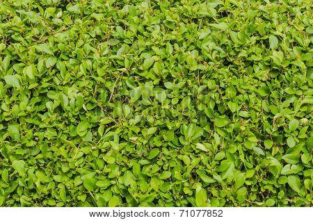 Hedge Of Evergreen