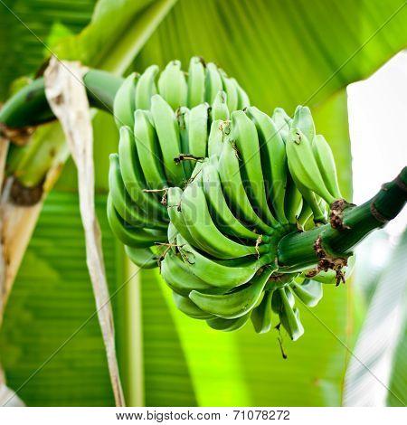 Bunch of green bananas on tree. Bushel of fresh bananas in nature. poster