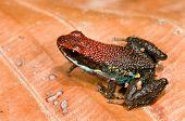 Poison dart frog Epipedobates bilinguis from Ecuador poster