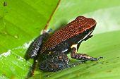 Poison dart frog Epipedobates zaparo from Ecuador poster