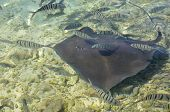 French polynesia islands sting ray at moorea poster